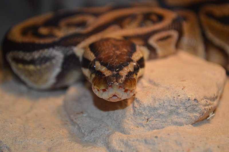 Marvin the Ball Python